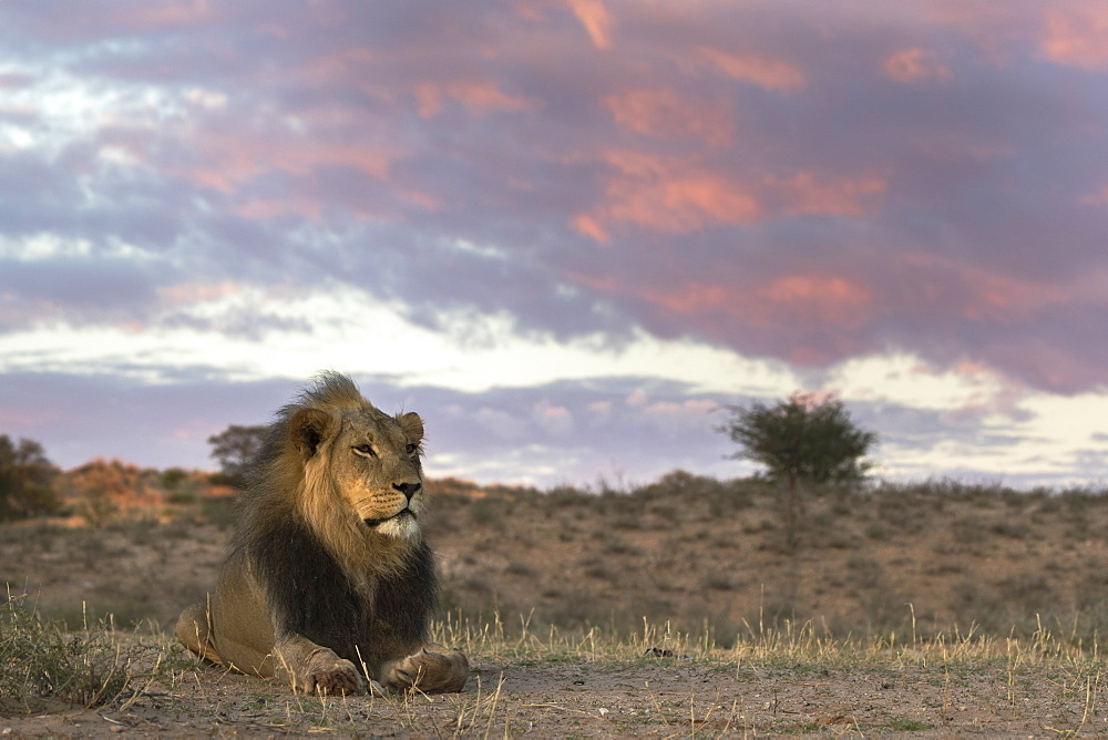 Lion (Panthera leo) male, Kgalagadi Transfrontier Park, South Africa, Africa - 743-1672