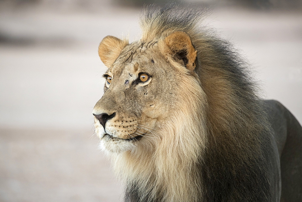 Lion (Panthera leo) male, Kgalagadi Transfrontier Park, South Africa, Africa - 743-1673