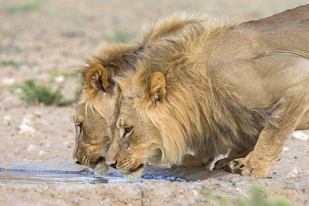 Lion (Panthera leo) males drinking, Kgalagadi Transfrontier Park, South Africa, Africa - 743-1675