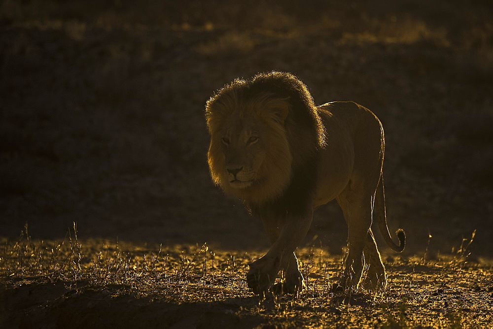 Lion (Panthera leo) male, Kgalagadi Transfrontier Park, South Africa, Africa - 743-1682