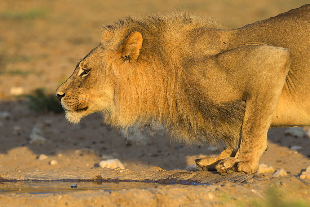 Lion (Panthera leo) male drinking, Kgalagadi Transfrontier Park, South Africa, Africa