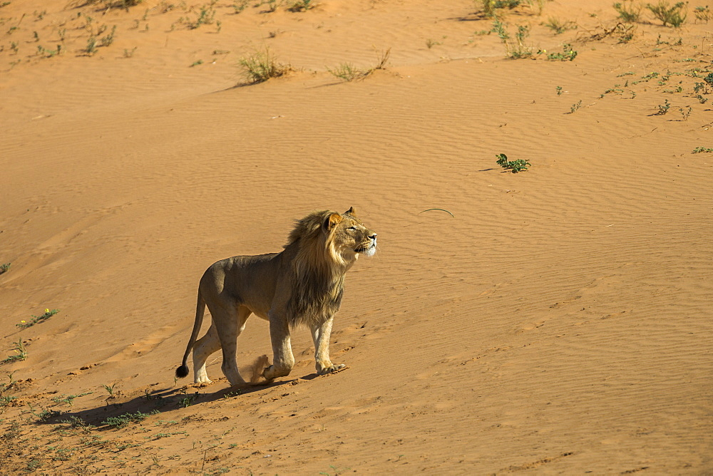 Lion (Panthera leo) male on sand dune, Kgalagadi Transfrontier Park, South Africa, Africa