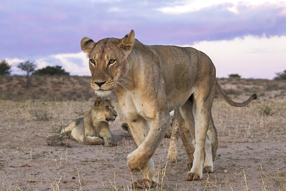 Lions (Panthera leo), Kgalagadi Transfrontier Park, South Africa, Africa - 743-1687