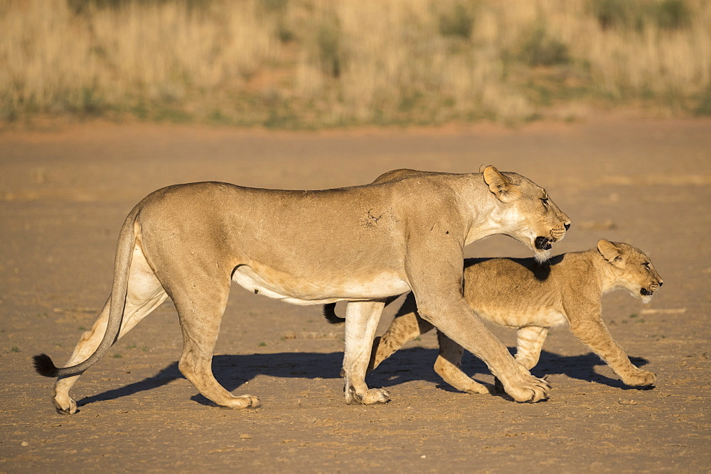 Lioness with cub (Panthera leo), Kgalagadi Transfrontier Park, South Africa, Africa - 743-1690