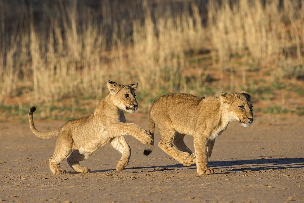 Lion cubs (Panthera leo) playing, Kgalagadi Transfrontier Park, South Africa, Africa