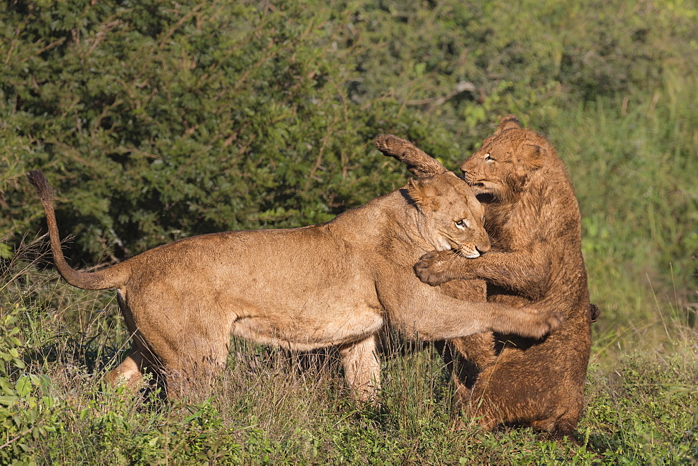 Lions (Panthera leo) playfighting, Zimanga Private Game Reserve, KwaZulu-Natal, South Africa, Africa