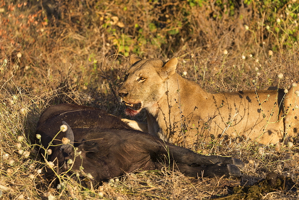 Lioness (Panthera leo) feeding on young Cape buffalo (Syncerus caffer), Chobe National Park, Botswana, Africa