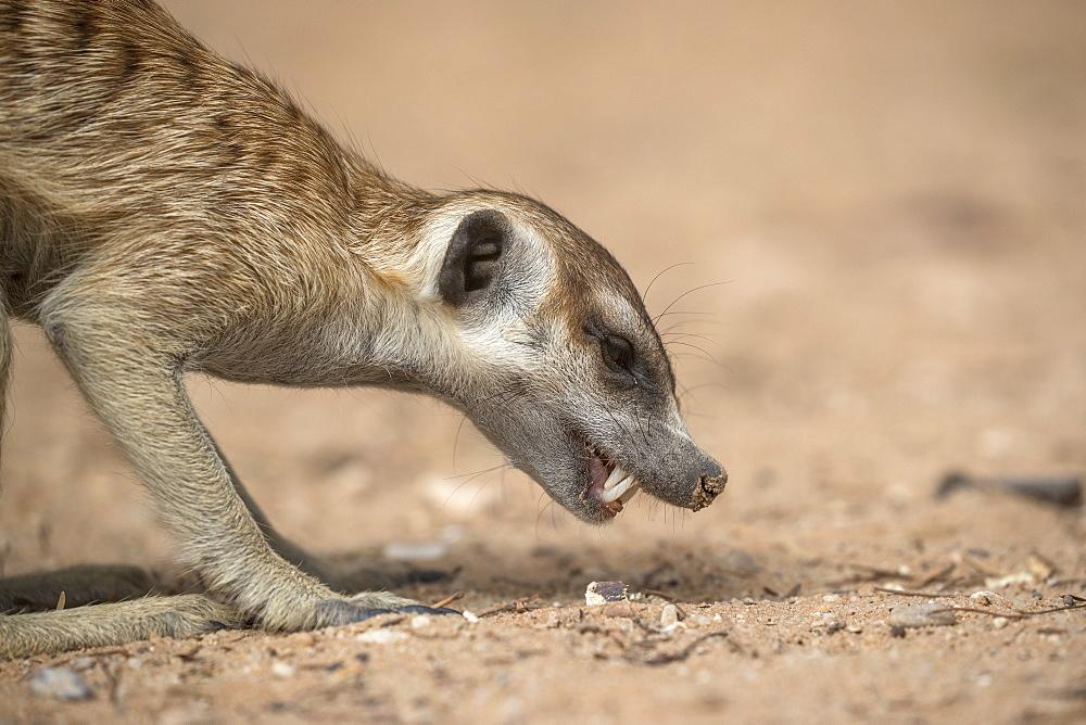 Meerkat (Suricata suricatta) foraging, Kgalagadi Transfrontier Park, South Africa, Africa