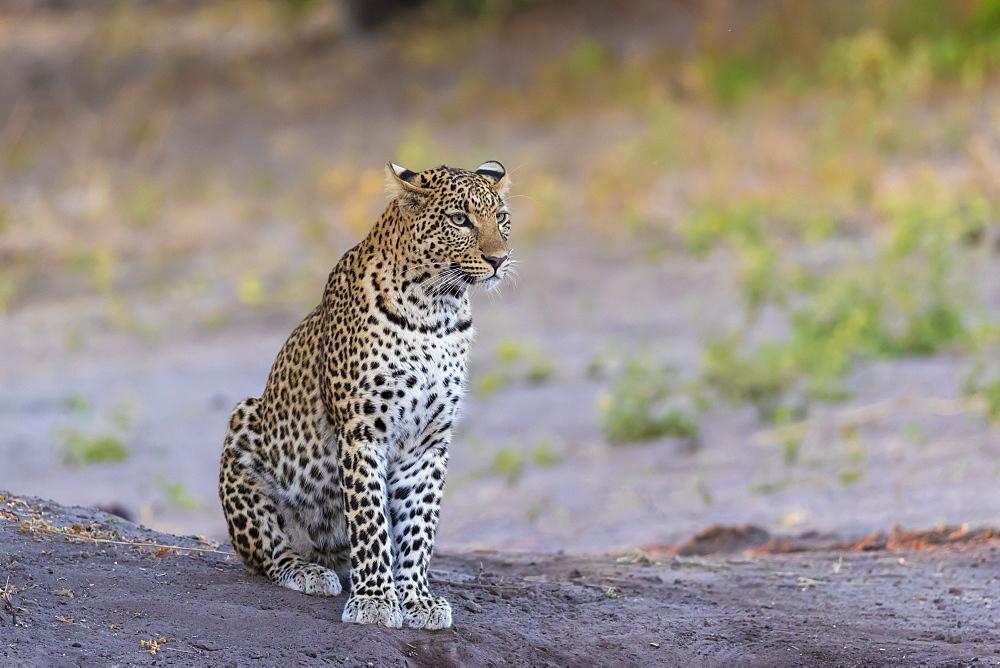 Leopard (Panthera pardus) female, Chobe National Park, Botswana, Africa - 743-1708