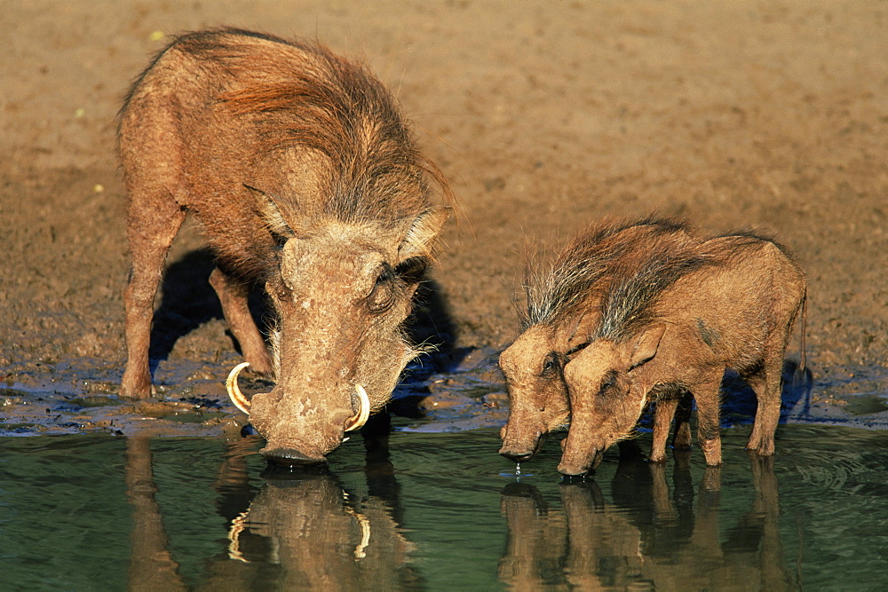warthogs, Phacochoerus aethiopicus, drinking, Mkhuze Game Reserve, South Africa, Africa