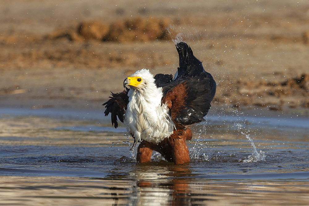 African fish eagle, Haliaeetus vocifer, bathing, Chobe river, Botswana, Southern Africa
