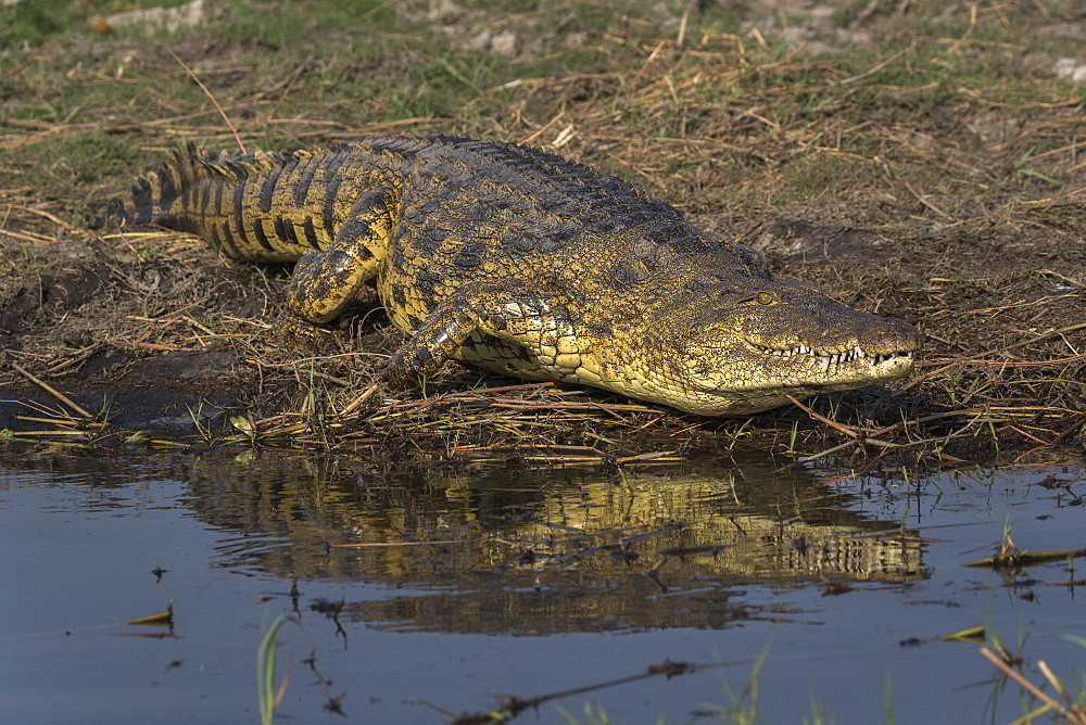 Nile crocodile (Crocodylus niloticus), Chobe river, Botswana