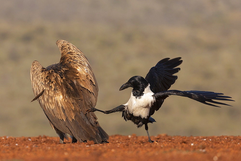 Pied crow, Corvus albus, harassing white backed vulture, Gyps africanus,  Zimanga game reserve, KwaZulu-Natal, South Africa