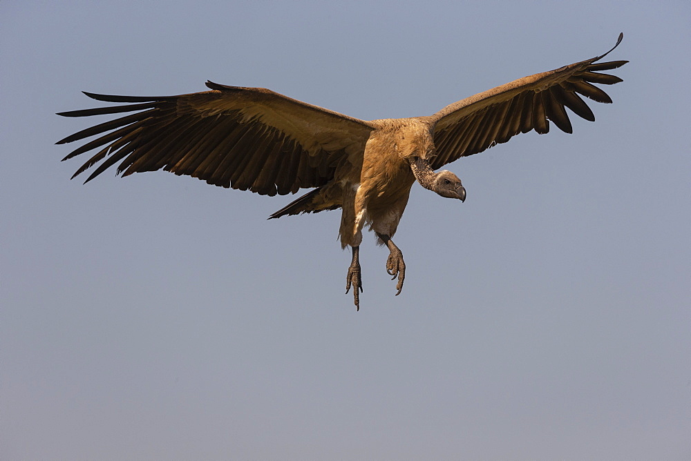 White backed vulture, Gyps africanus, landing, Zimanga private game reserve, KwaZulu-Natal, South Africa