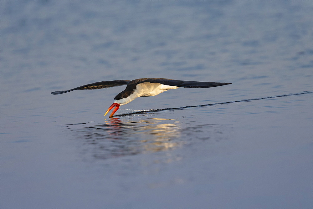 African skimmer (Rynchops flavirostris) fishing, Chobe river, Botswana