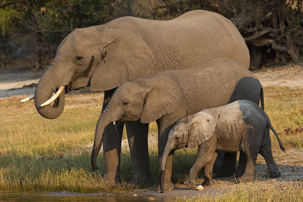 African elephants, Loxodonta africana, drinking, Chobe river, Botswana, Southern Africa - 743-1739