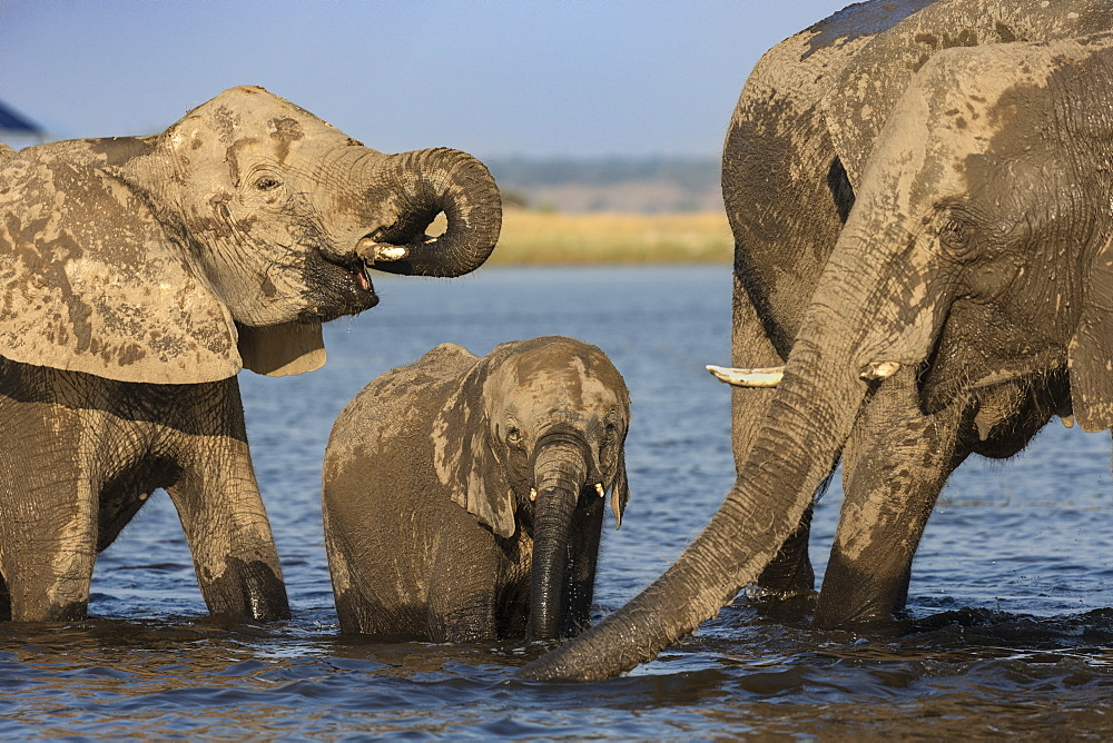African elephants, Loxodonta africana, drinking, Chobe river, Botswana, Southern Africa - 743-1742