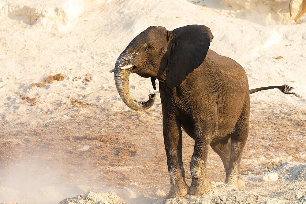 African elephant (Loxodonta africana), Chobe river, Botswana - 743-1743