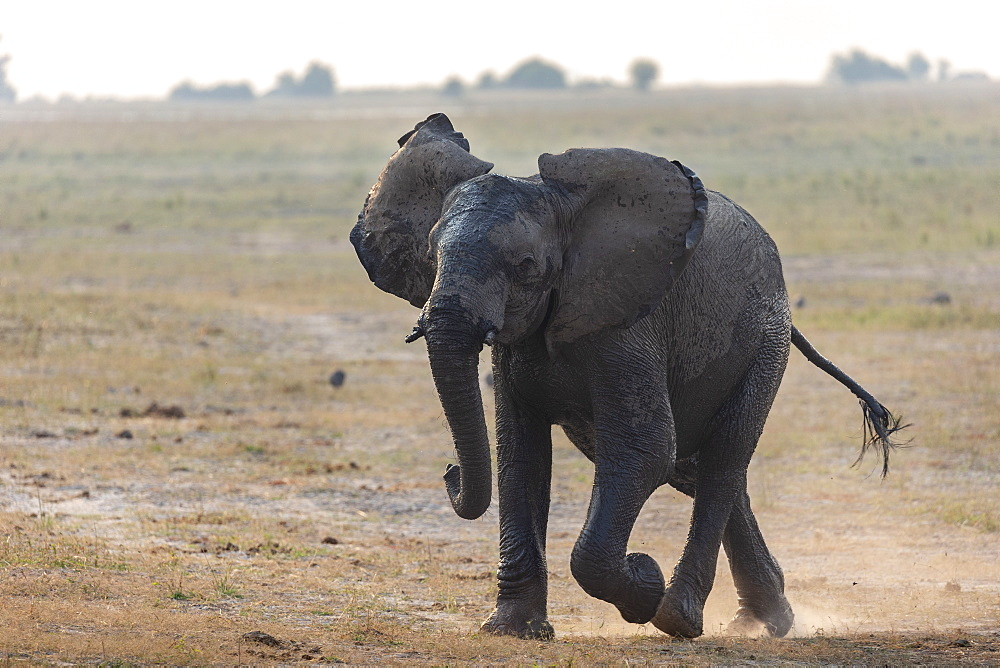 African elephant, Loxodonta africana, running, Chobe river, Botswana, Southern Africa - 743-1748