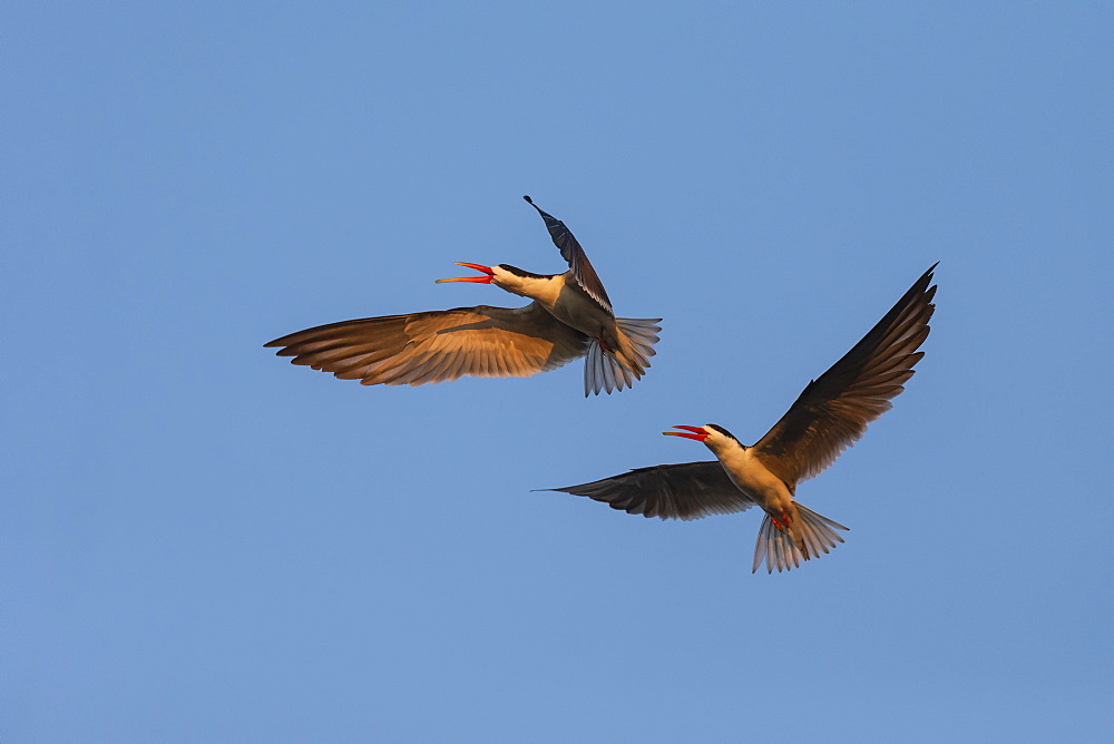 African skimmers, Rynchops flavirostris, courtship display, Chobe river, Botswana, Southern Africa, - 743-1759