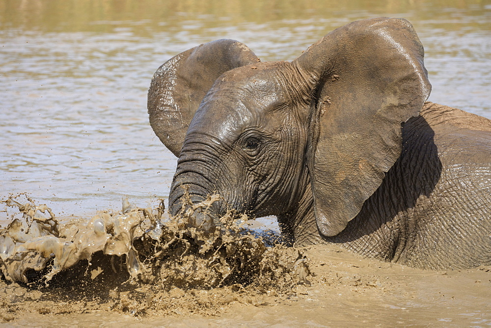 African elephant, Loxodonta africana, bathing, Addo elephant national park, Eastern Cape, South Africa