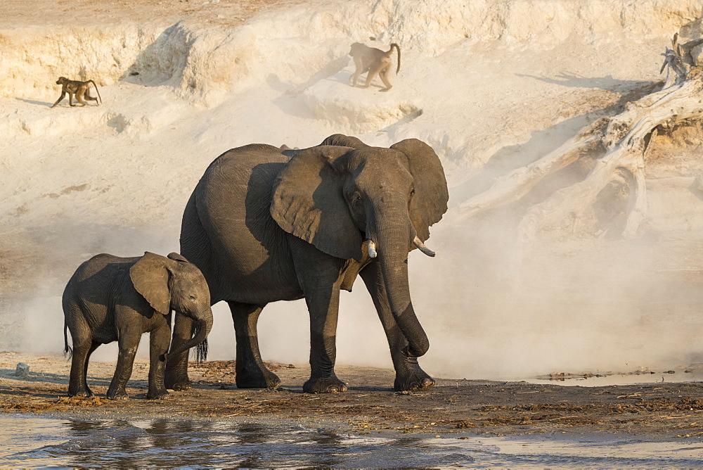 African elephants (Loxodonta africana), Chobe river, Botswana - 743-1765