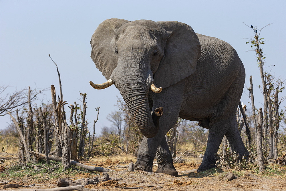 African elephant bull (Loxodonta africana), Khwai conservancy, Botswana - 743-1767