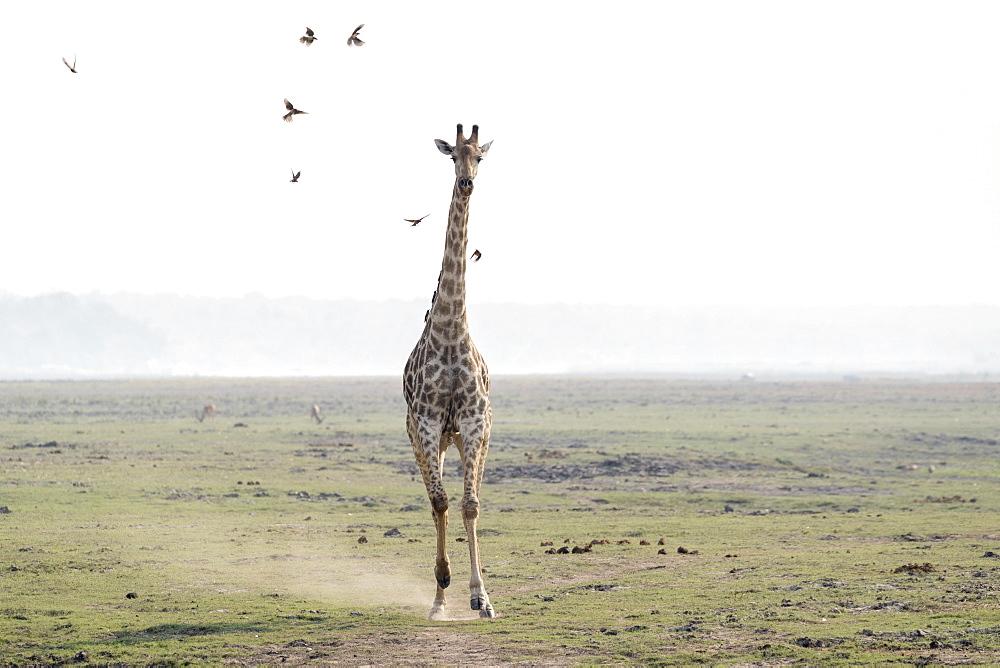 Giraffe (Giraffa camelopardalis) running, Chobe national park, Botswana
