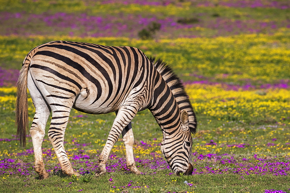 Plains zebra, Equus quagga, grazing spring flowers, Addo Elephant national park, Eastern Cape, South Africa