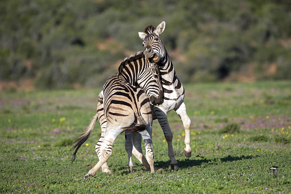 Plains zebra, Equus quagga, fighting, Addo Elephant national park, Eastern Cape, South Africa