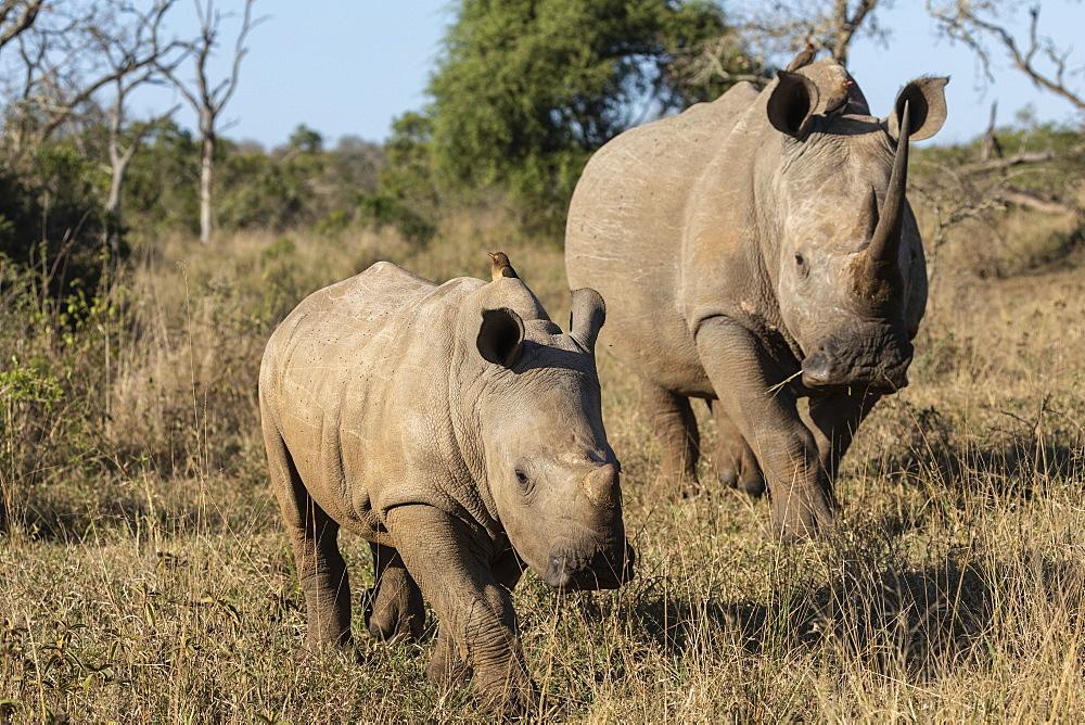 White rhinos (Ceratotherium simum), iMfolozi game reserve, KwaZulu-Natal, South Africa, - 743-1788