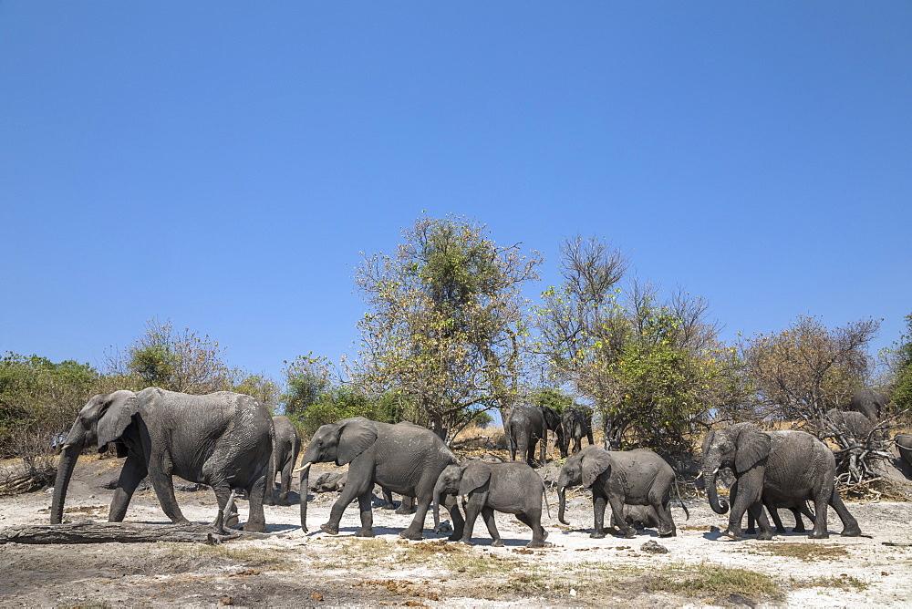 African elephants (Loxodonta africana), Chobe national park, Botswana - 743-1789