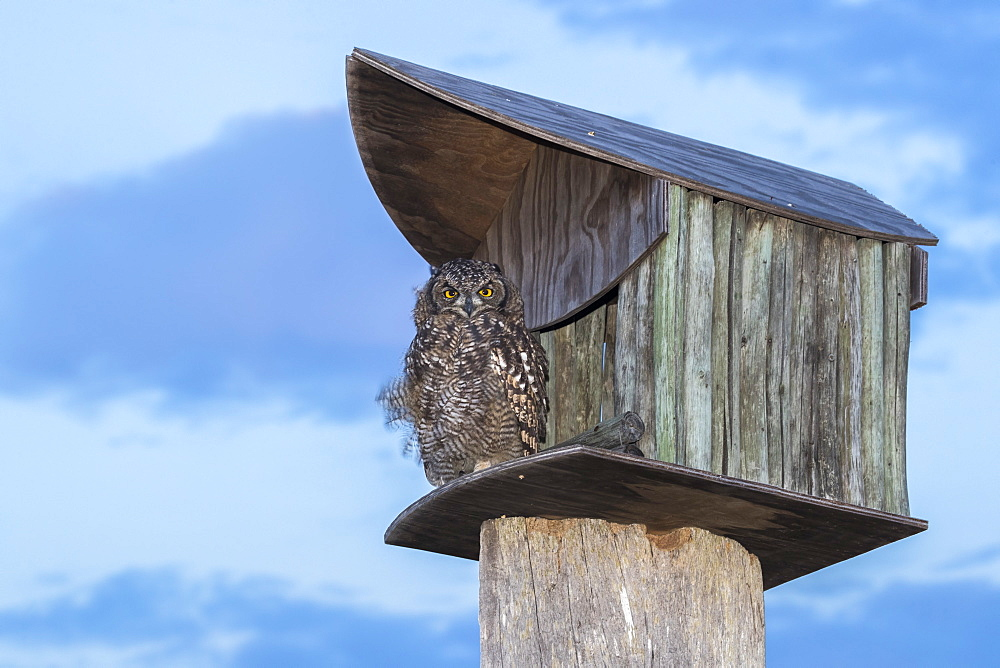 Spotted eagle owl (Bubo africanus) at nest box, Paternoster, Western Cape, South Africa,