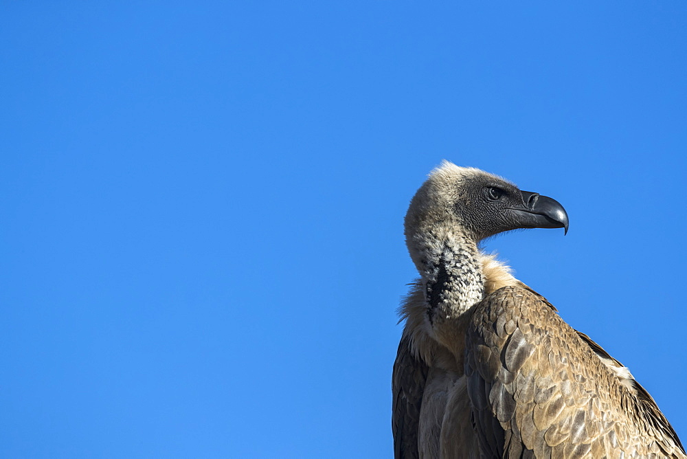 Cape vulture (Gyps coprotheres), Zimanga private game reserve, KwaZulu-Natal, South Africa, Africa