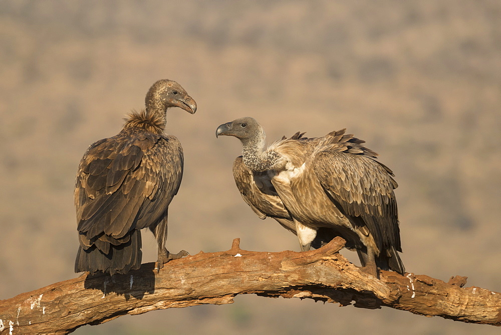 Whitebacked vultures (Gyps africanus), Zimanga private game reserve, KwaZulu-Natal, South Africa, Africa