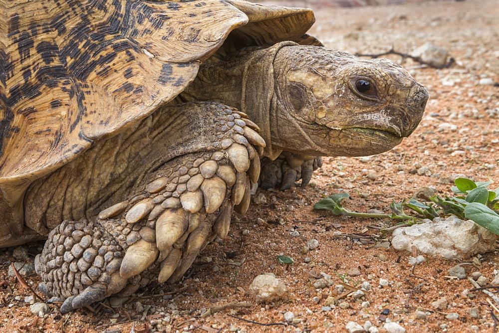 Leopard tortoise ((mountain tortoise) (Stigmochelys pardalis), Kgalagadi Transfrontier Park, South Africa, Africa