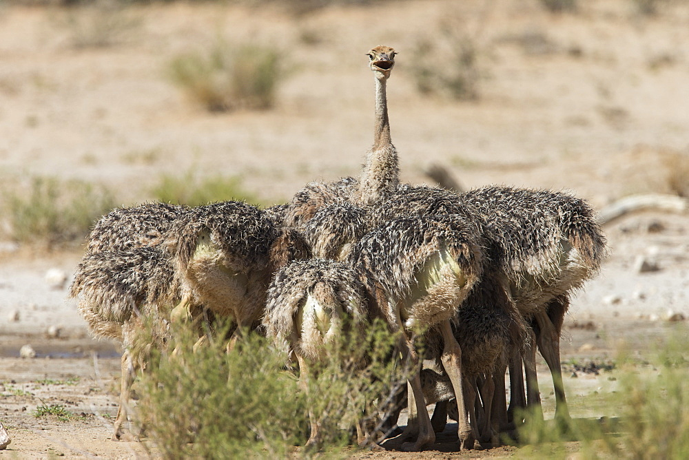 Ostrich (Struthio camelus) chicks, Kgalagadi transfrontier park, Northern Cape, South Africa,