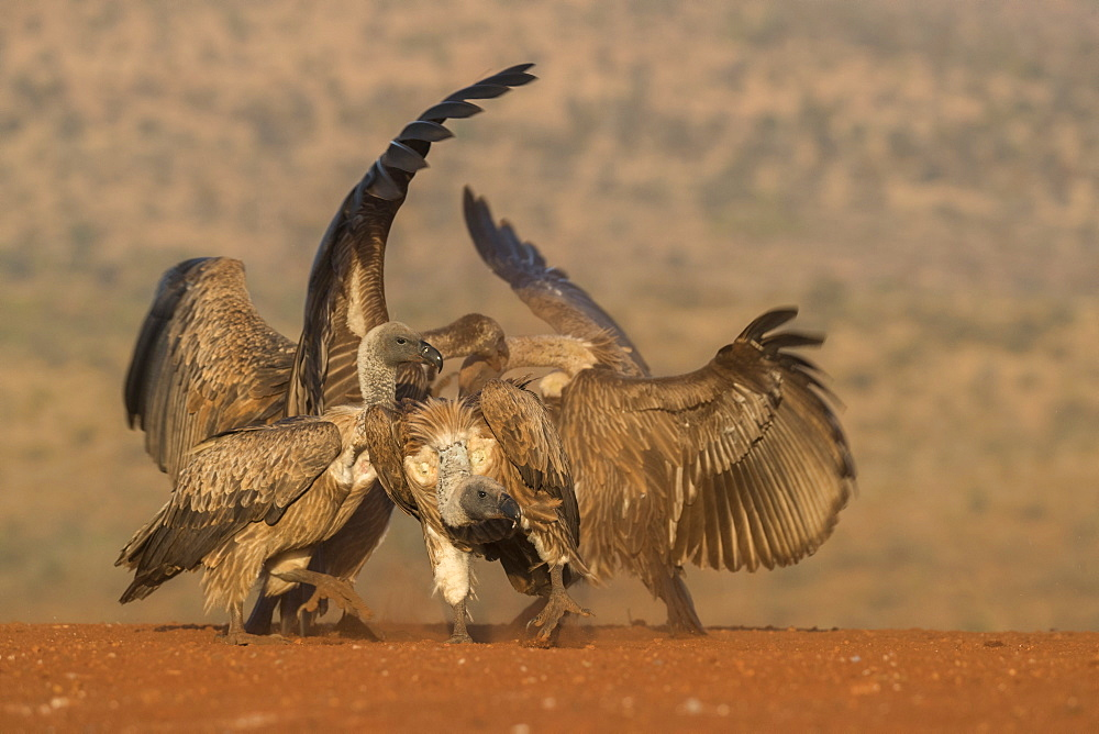 Whitebacked vulture (Gyps africanus) fighting over food, Zimanga private game reserve, KwaZulu-Natal, South Africa, Africa
