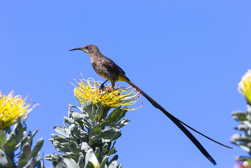 Cape sugarbird (Promerops cafer), Kirstenbosch National Botanical Garden, Cape Town, South Africa, Africa