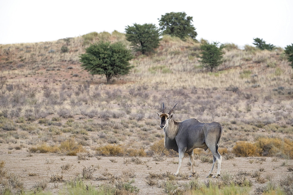 Eland (Taurotragus oryx), Kgalagadi Transfrontier Park, South Africa, Africa
