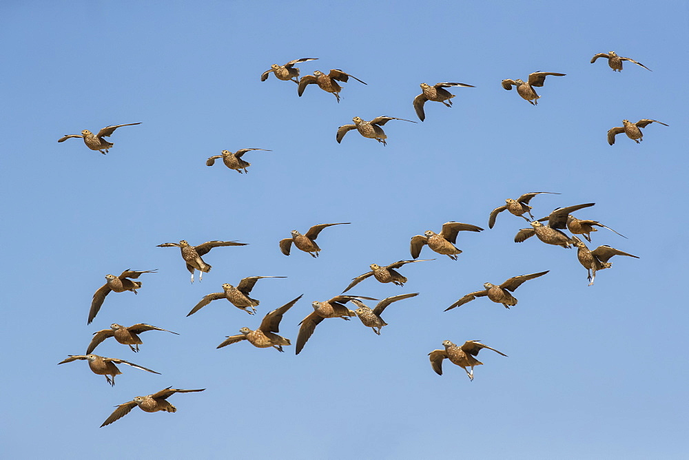 Burchell's sandgrouse (Pterocles burchelli) in flight, Kgalagadi Transfrontier Park, South Africa, Africa