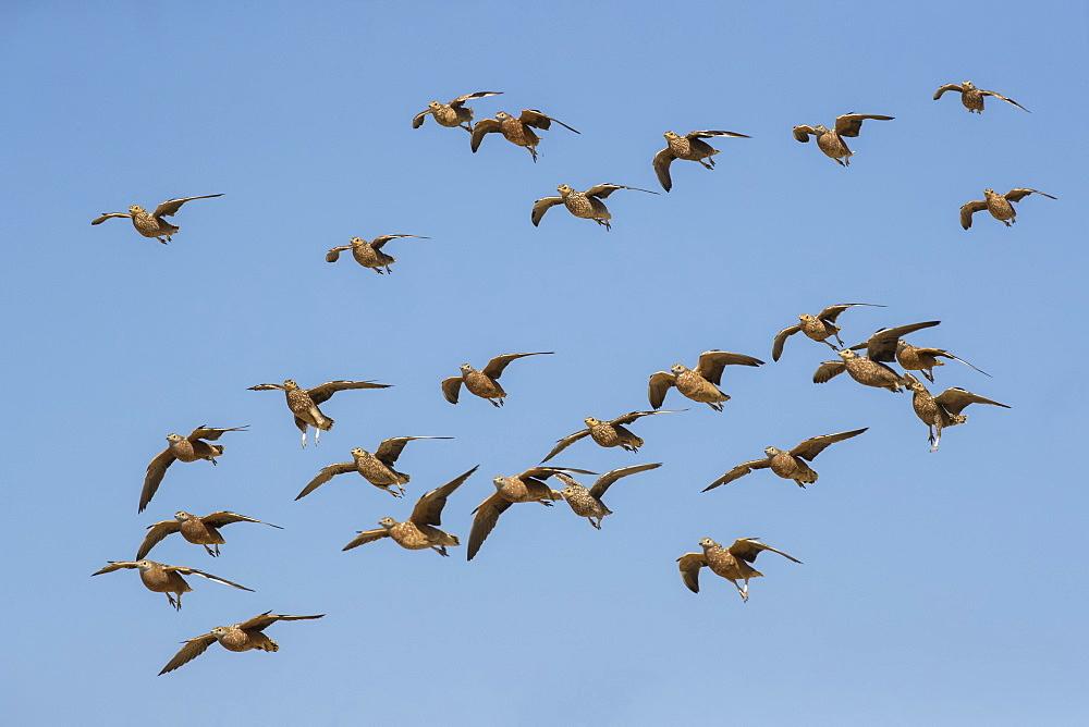 Burchell's sandgrouse (Pterocles burchelli) in flight, Kgalagadi transfrontier park, South Africa,