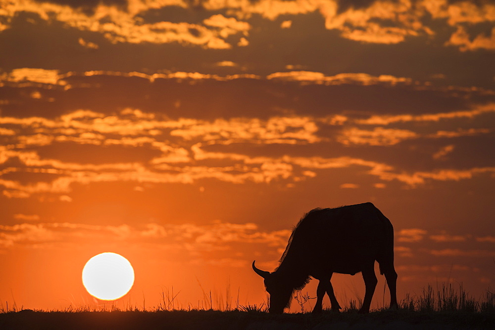 Cape buffalo (Syncerus caffer) at sunset, Chobe National Park, Botswana, Africa