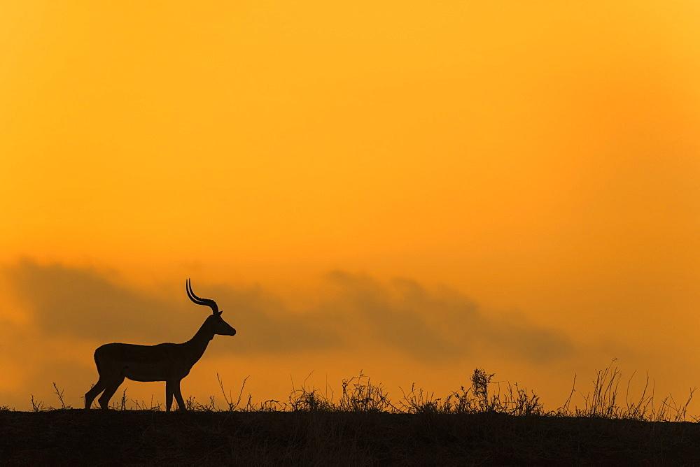 Impala (Aepyceros melampus) at dusk, Zimanga game reserve, KwaZulu-Natal, South Africa, Africa