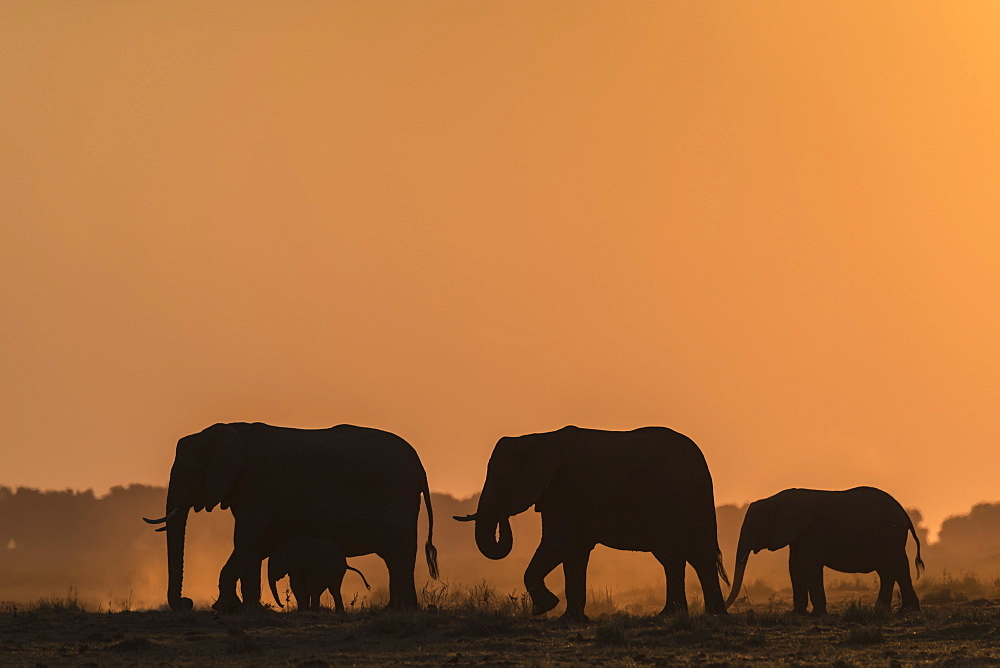 African elephants (Loxodonta africana) at sunset, Chobe National Park, Botswana, Africa - 743-1826