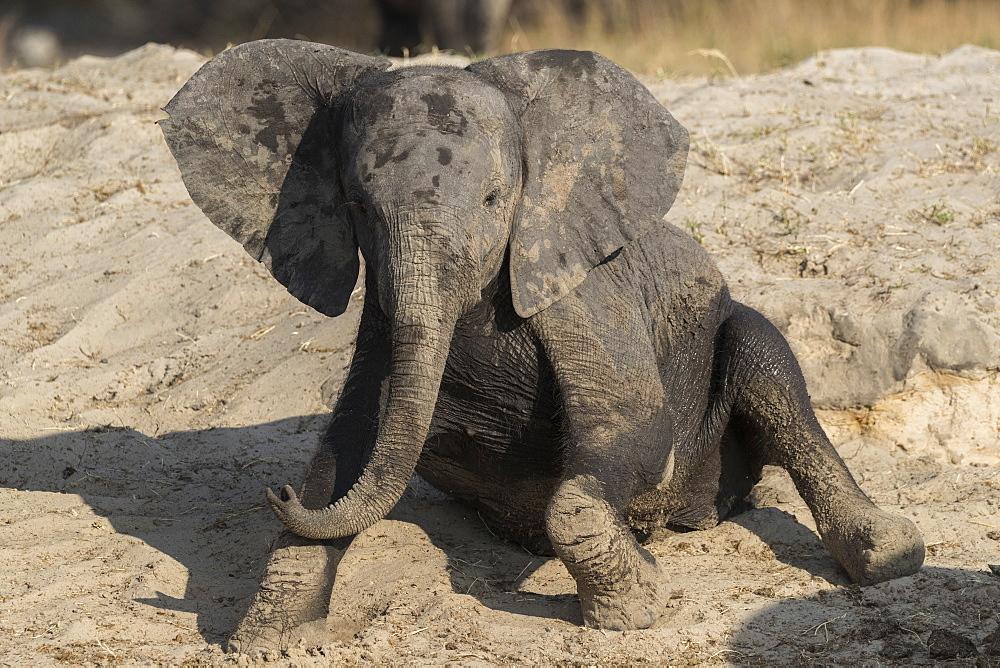 African elephant (Loxodonta africana) young rubbing, Chobe National Park, Botswana, Africa