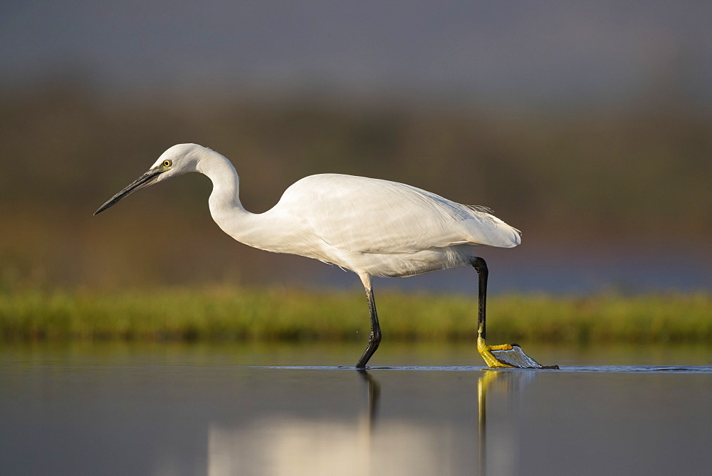 Little egret (Egretta garzetta), Zimanga private game reserve, KwaZulu-Natal, South Africa, Africa