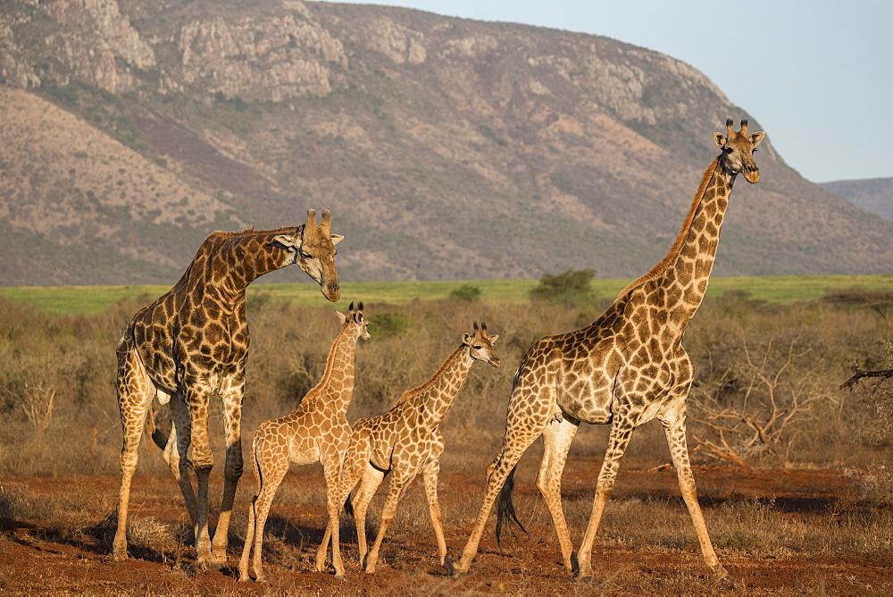 Giraffe (Giraffa camelopardalis), Zimanga game reserve, KwaZulu-Natal, South Africa, Africa
