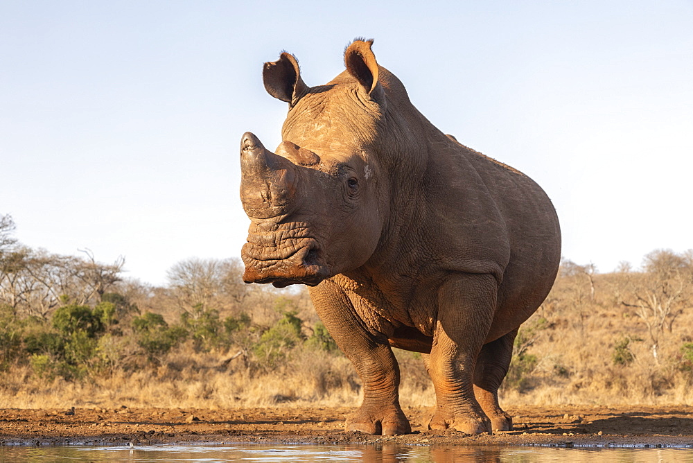 White rhino (Ceratotherium simum) bull at water, Zimanga private game reserve, KwaZulu-Natal, South Africa, Africa
