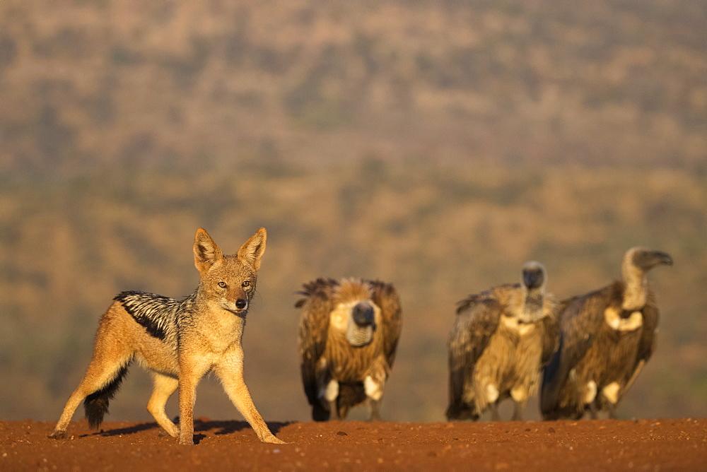 Blackbacked jackal (Canis mesomelas), Zimanga private game reserve, KwaZulu-Natal, South Africa, Africa